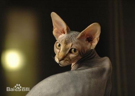 又丑又粘人!这只没毛的外星猫,萌到你了吗?