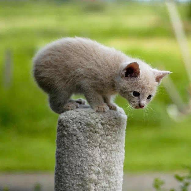 为啥这个猫没有尾巴?