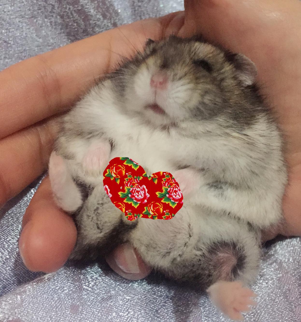 我家的小仓鼠今天称了下体重有70g,是不是超重了呢?