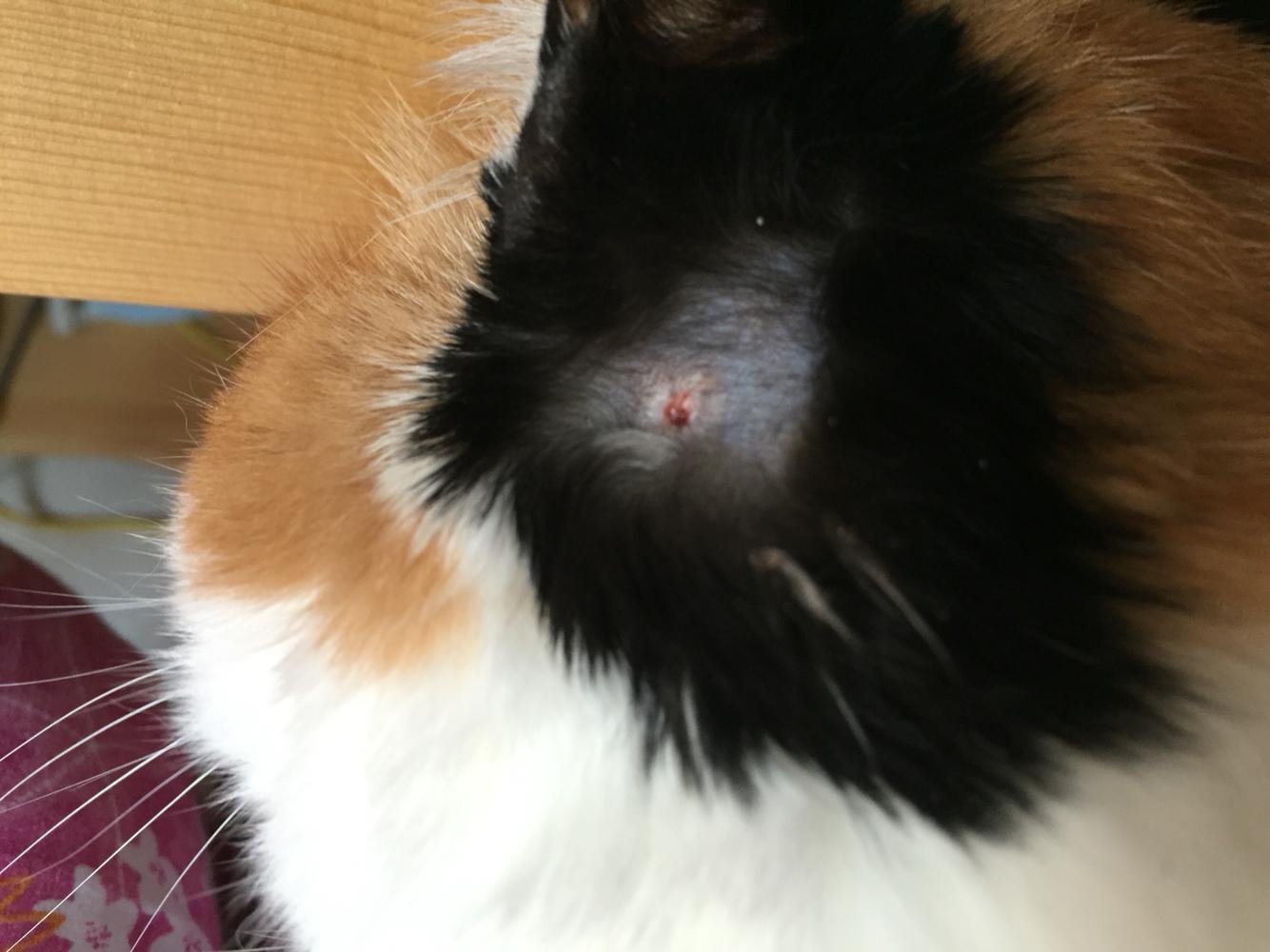 我家貓咪耳朵上好像長癬了