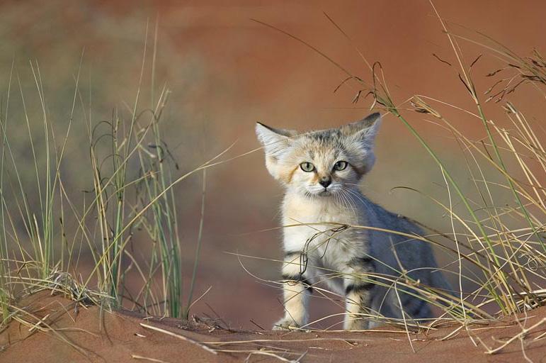 因受宠而灭绝:巴基斯坦沙猫