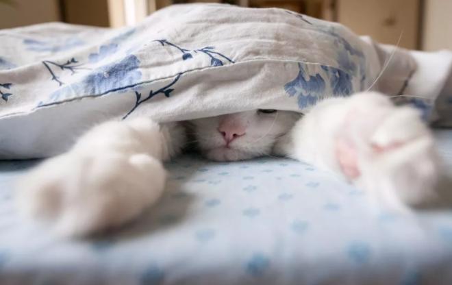 被太阳诅咒的猫:白猫为何不能久晒?