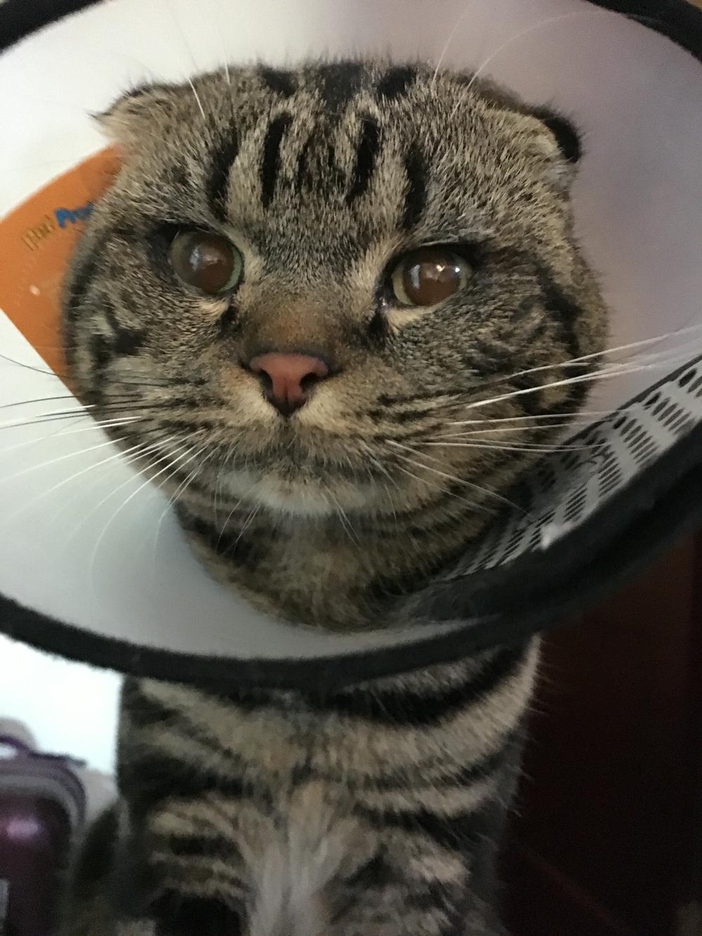 猫得了角膜溃疡,下睫毛总是刺激眼球