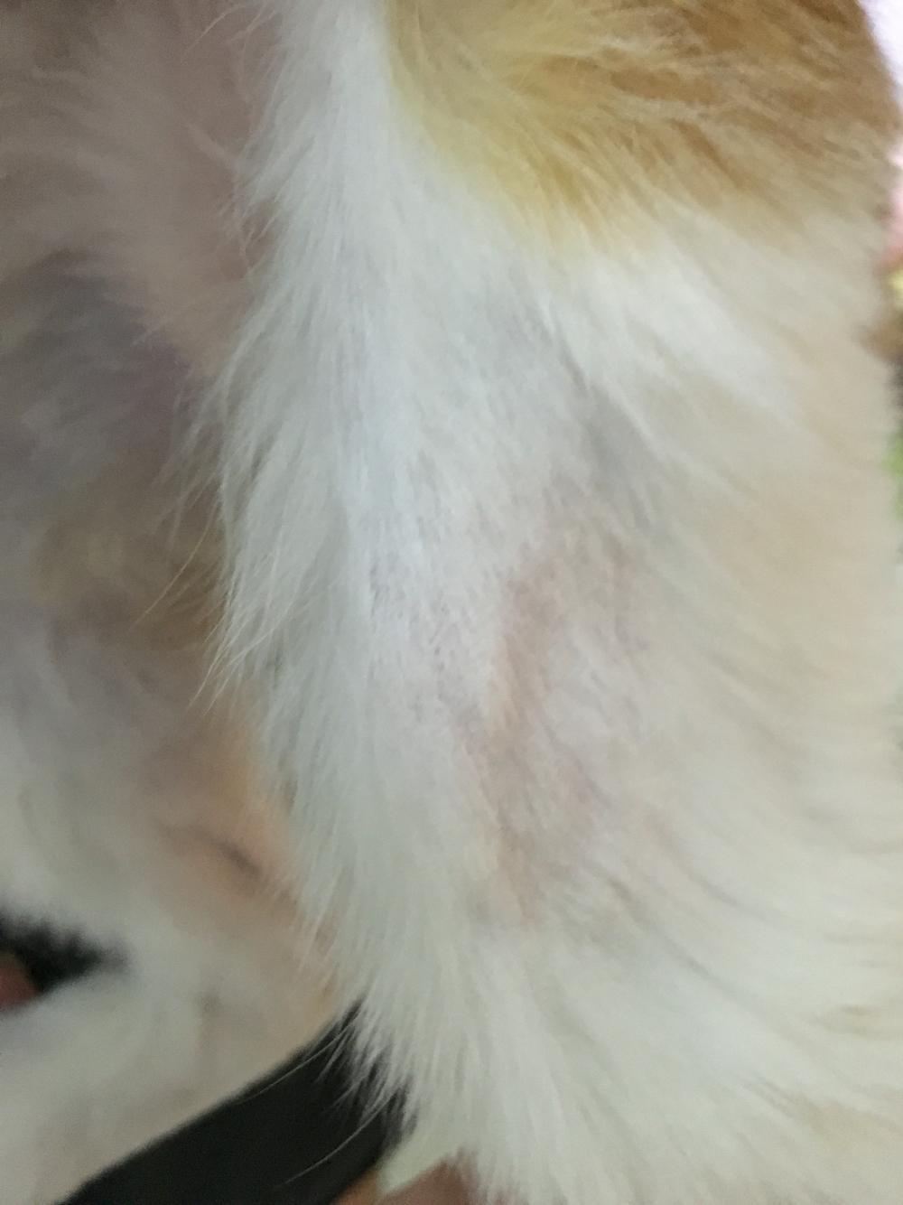 猫咪大面积掉毛