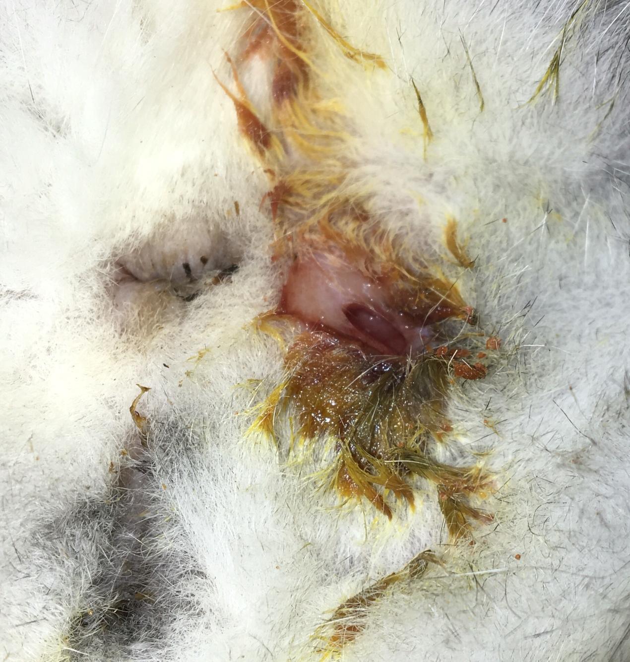 猫咪肛门腺发炎 肛门右侧有个洞,还出血