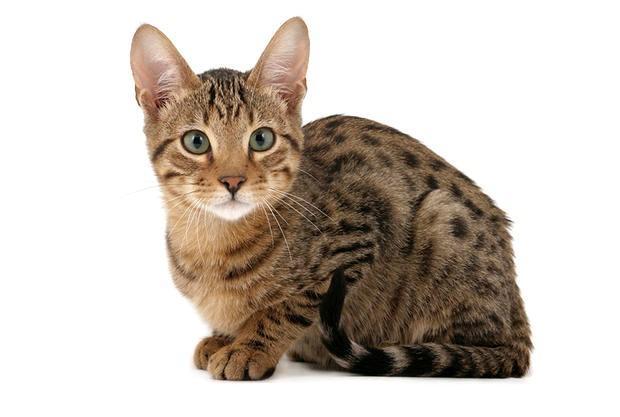 最具野性的8个猫咪品种