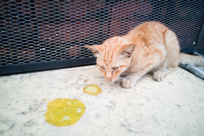 猫咪三体炎的必备知识