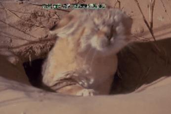 黑足猫、锈斑豹猫、兔狲、狞猫、沙丘猫的小介绍