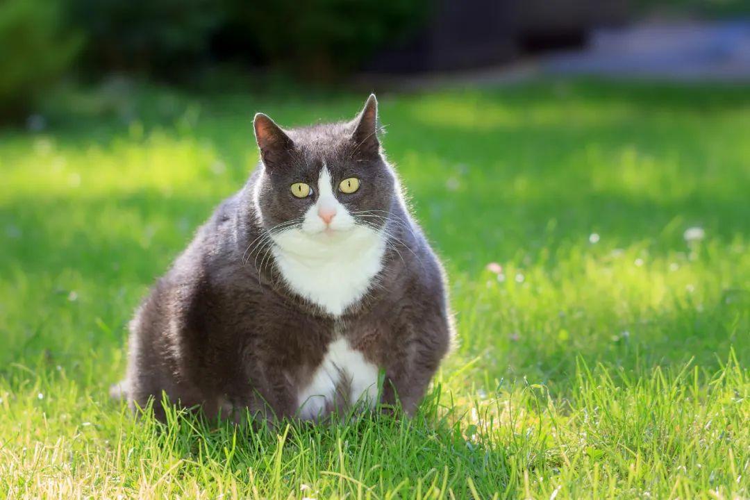 猫咪糖尿病的介绍