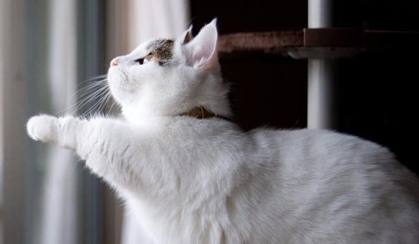 """""""猫中柯基""""——曼赤肯猫(Munchkin cat)的卖萌发家史"""