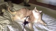 猫肥胖的原因、标准和减肥方法